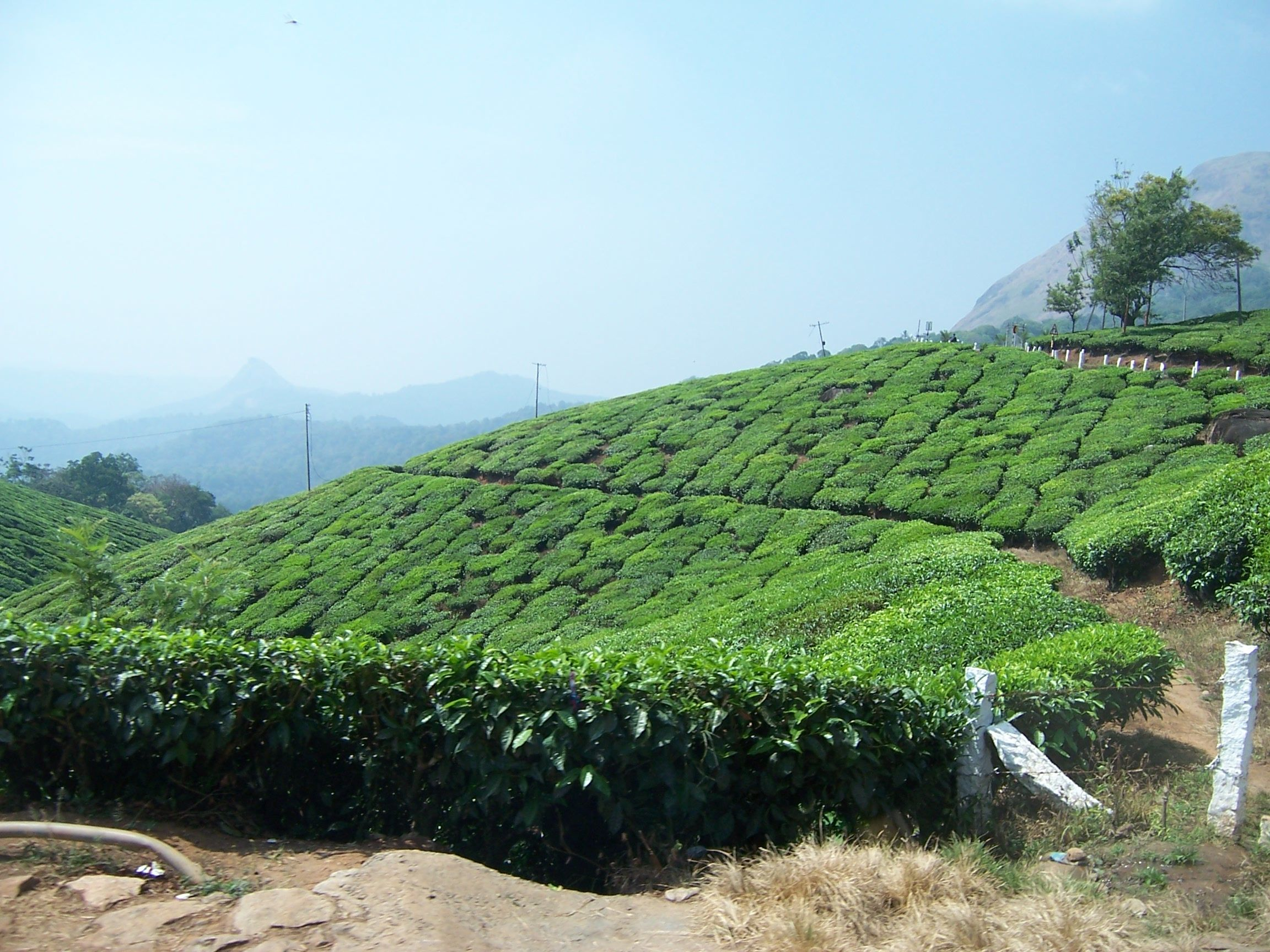 Munnar's Tea Estates, Kerala