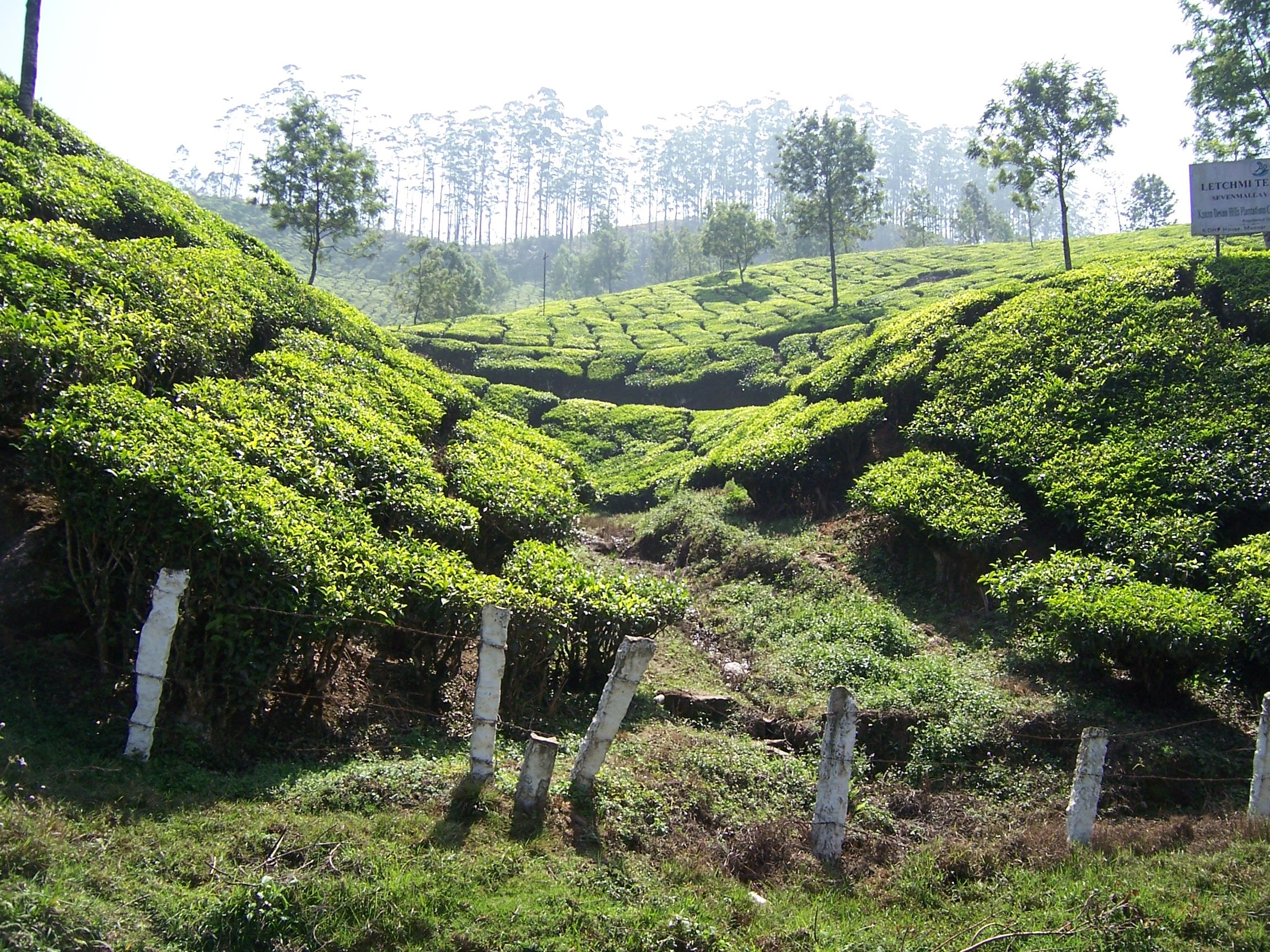 When driving in to Munnar, the humble tea bushes dominate the landscape together.