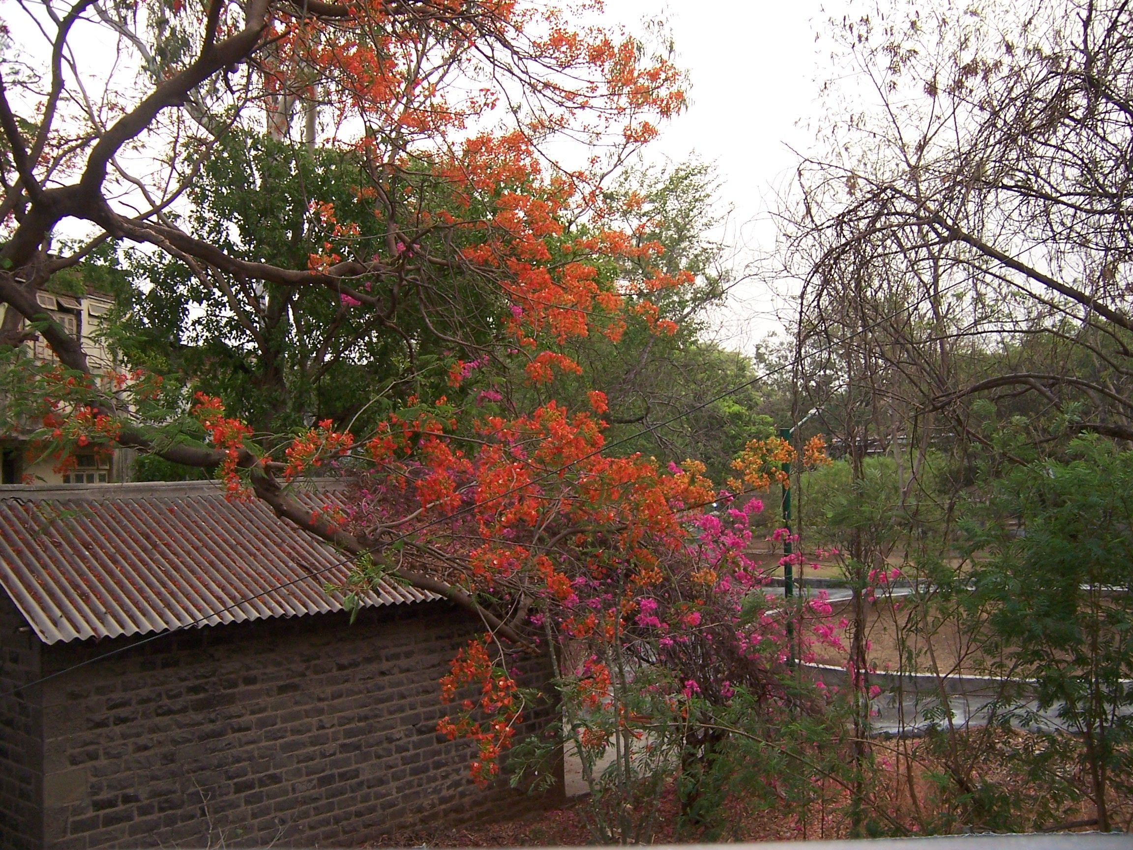 Orange-red gulmohar flowers.