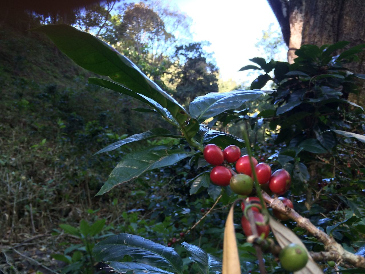Coffee Plant, Balmaadi Coffee Estate.