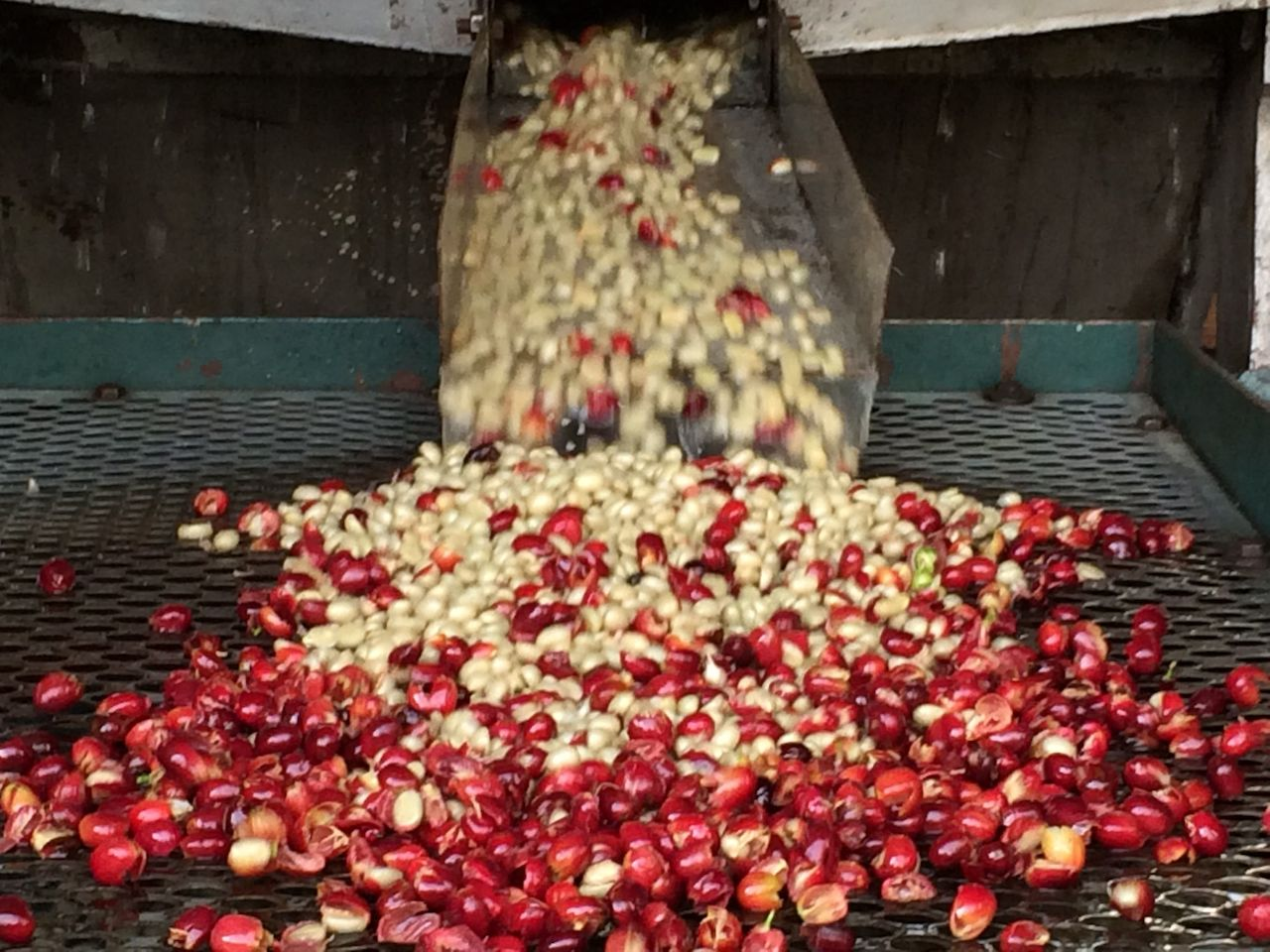 Pulped berries stream out as the machines de-husk the berry and the bean.