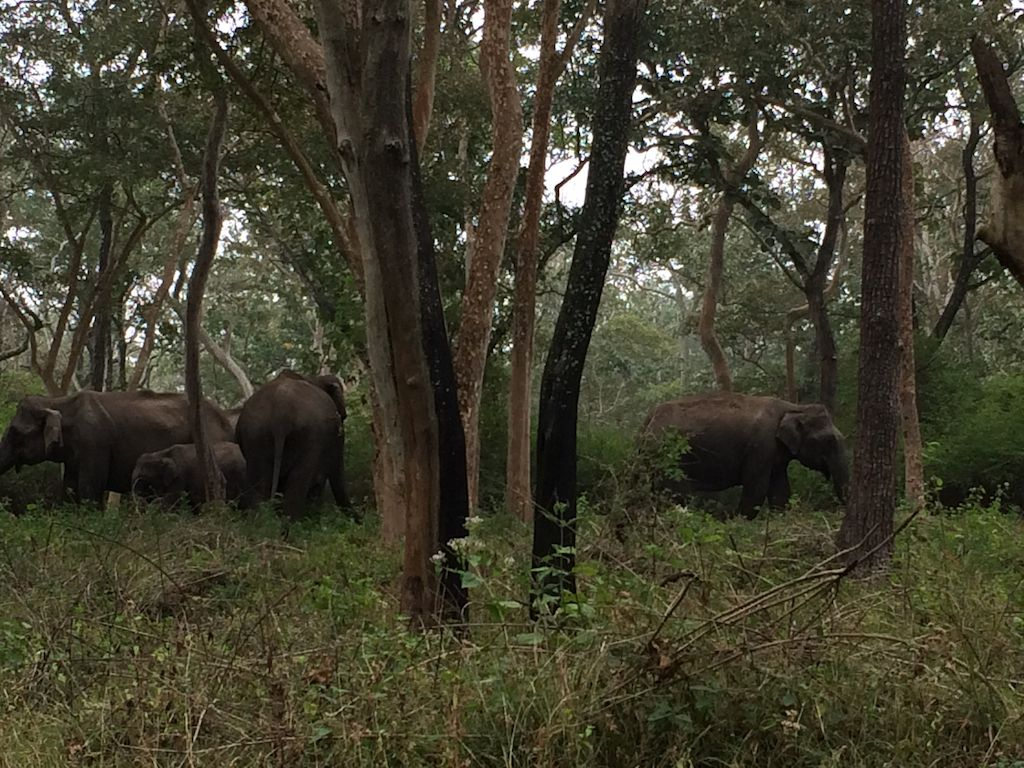 A herd of Elephants congregating in the early hours at Mudumalai National Park.
